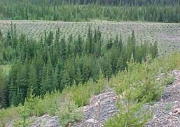 Fording River mine site conifer work