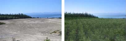 Sechelt Reclamation Poplar Plantation Area 2004-2009